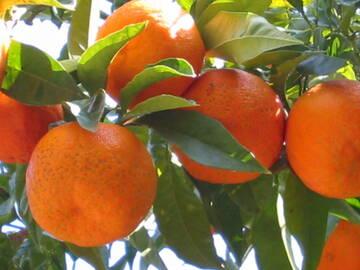 so schöne Früchte trägt der Frühling in Süditalien